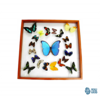 01 blue morpho  butterfly + 20  different  butterflies