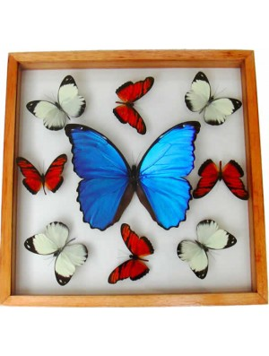 Real Blue Butterfly Mounted
